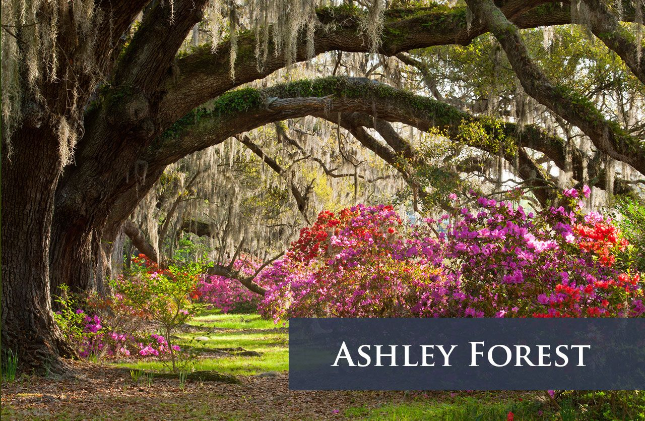 Ashley Forest
